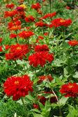 красивые красные цветки — Стоковое фото