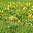Flowering dandelion on meadow — Stock Photo #7188927