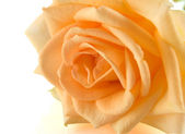 Orange rose on the white — Stock Photo