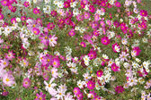 Beautiful pink bell flowers — Stock Photo