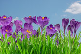 Beautiful violet crocus under blue sky — Stock Photo