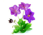 Beautiful violet flower isolated on white — Stock Photo