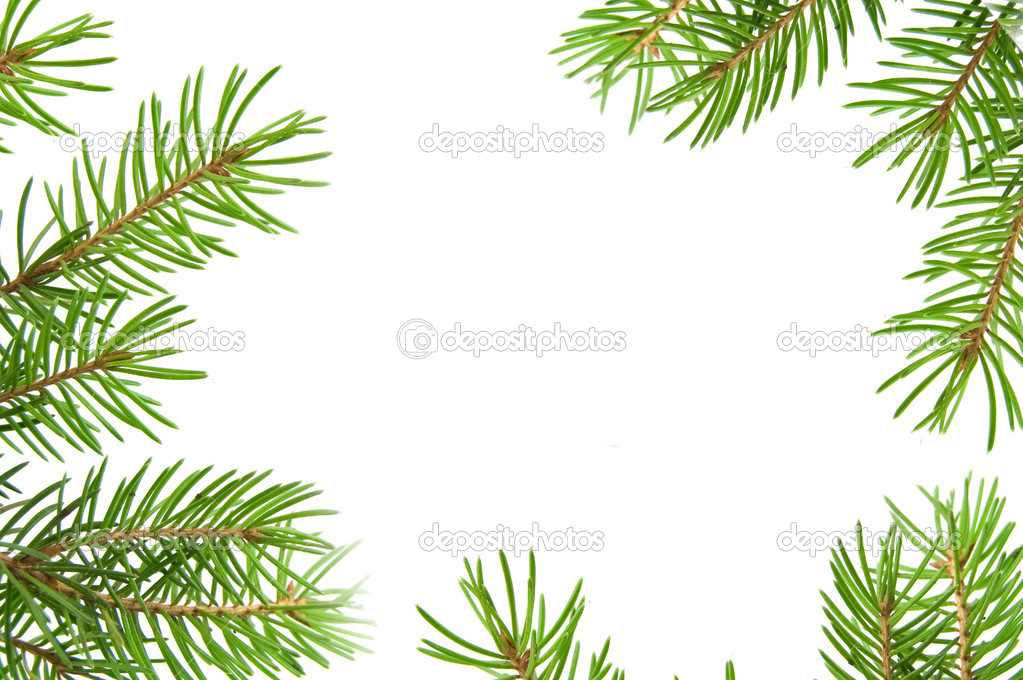 Pine tree branch isolated on white backgrond  Stock Photo #7468624