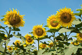 Girasoles — Foto de Stock