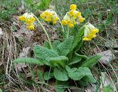 Primula gialla sfondo natura — Foto Stock