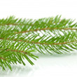 Stock Photo: Pine tree branch isolated on white backgrond