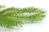 Pine tree branch isolated on white backgrond — Stock Photo