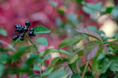 Colorful autumn leaves and berries — Stockfoto