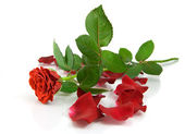Red rose on the white — Stock Photo