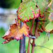 Vines with leaves turning red in autumn - Stock Photo