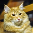 Red norwegian forest cat portrait — Stock Photo #7461241