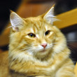 Red norwegian forest cat portrait — Stock Photo