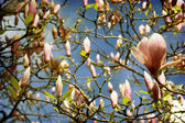 BOUNTIFUL BEAUTIFUL MAGNOLIAS — Stock Photo