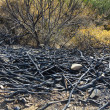 Stock Photo: Remains of burned trees