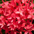 Pink Ixora - Stock Photo
