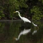 Great Egret and Black-necked Stilt — Stock Photo