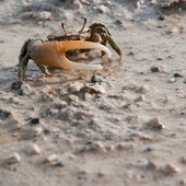 Crab on beach — Stock Photo