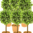 Small trees — Stock Photo