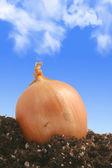 Onion on dirt — Stock Photo