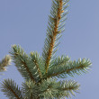 Tree spruce branches — Stock Photo #7570128
