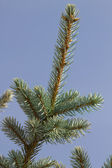 Tree spruce branches — Stock Photo