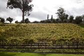 Hillside Grape Vines — Stock Photo