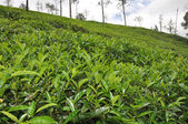 Tea cultivation — Stock Photo