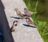 Flock of sparrows — Stockfoto