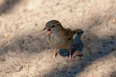 Chirping sparrow — Stock Photo