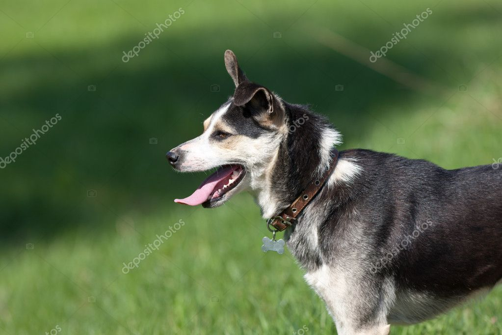 Portrait of a dog of the shepherd against a grass  Stock Photo #6822310