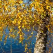 Autumn birch — Stock Photo