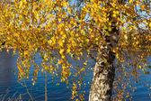 Autumn birch — Stock Photo