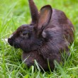 Black rabbit — Stock Photo