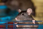 The curious black rat — Stock Photo