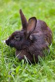 Coniglio nero — Foto Stock