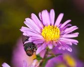 в поисках нектара — Стоковое фото