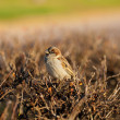 Lonely sparrow — Stock Photo #7549595