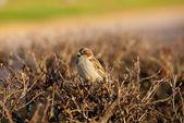 Lonely sparrow — Stock Photo