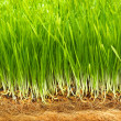 Healthy grass — Stock Photo