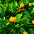 Mandarin in nature, shallow DOF — Stock Photo