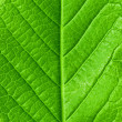 Green young spring leaf isolated, high resolution macro — Stock Photo