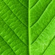 Green young spring leaf isolated, high resolution macro — Foto de Stock