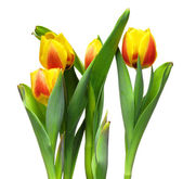 Colorful fresh spring tulips flowers isolated on white backgroun — Stock Photo