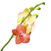 Orchidee isoliert auf weissem — Stockfoto
