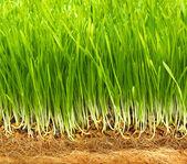 Healthy grass — Stock Photo