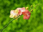 Orchidée sur fond naturel — Photo