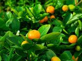 мандарин в природе, мелкой dof — Стоковое фото
