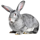 Grey house rabbit on white background — Stock Photo