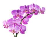Orchidej na bílém pozadí — Stock fotografie
