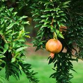 Fruta granada en árbol — Foto de Stock